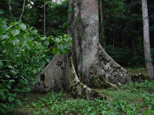 ceiba-tree2