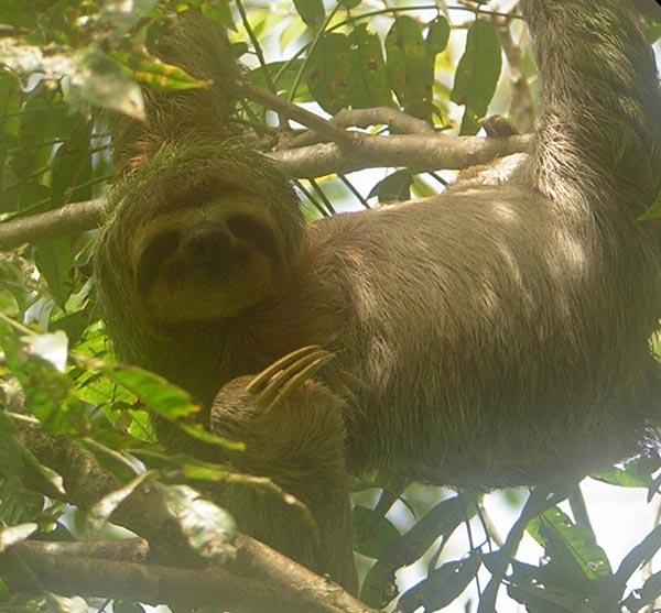 3-toed-sloth.jpg