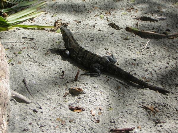 black-iguana.jpg