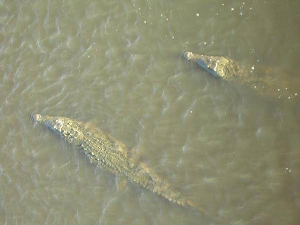 crocodiles.jpg