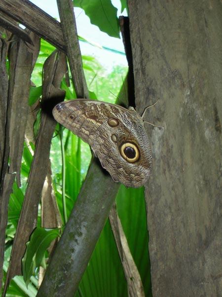 owl-butterfly.jpg