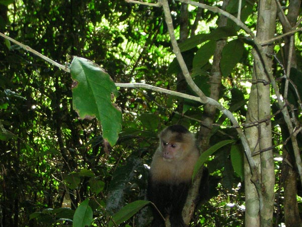 white-faced-monkey-2.jpg