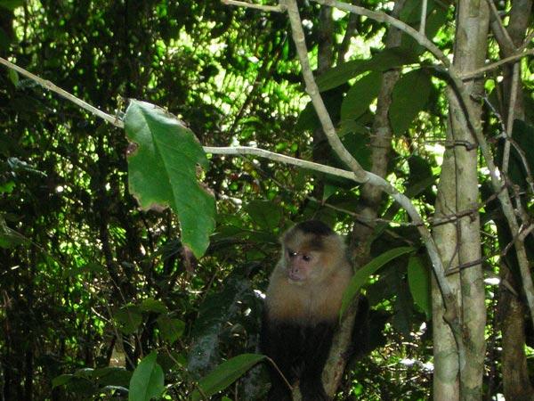 white-faced-monkey-2.jpg