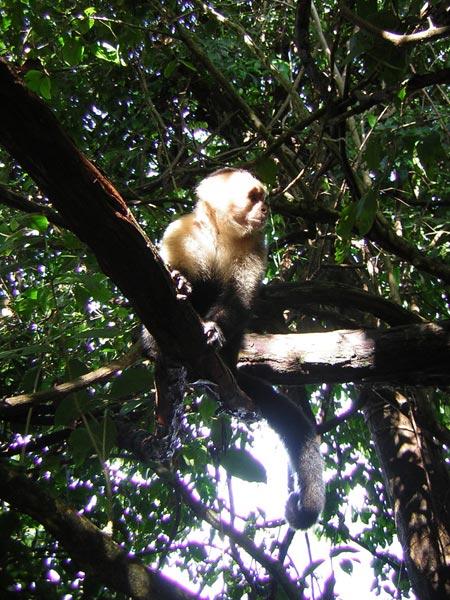 white-faced-monkey-3.jpg